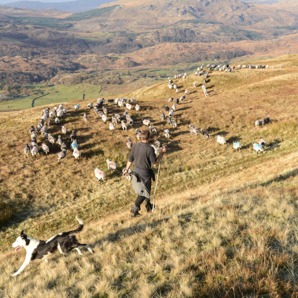 A shepherd walking down a hillside with his dog beside him and a flock of sheep moving down the hill. The image is taken in the Coniston Fells, Cumbria.