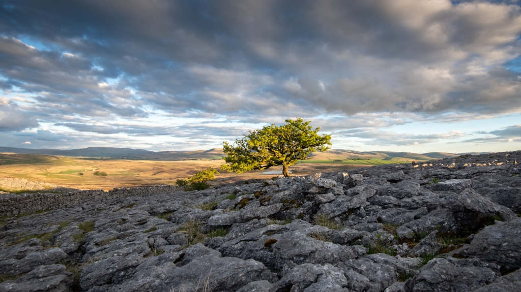 Hawthorn on Little Asby Common, rising out of a limestone pavement